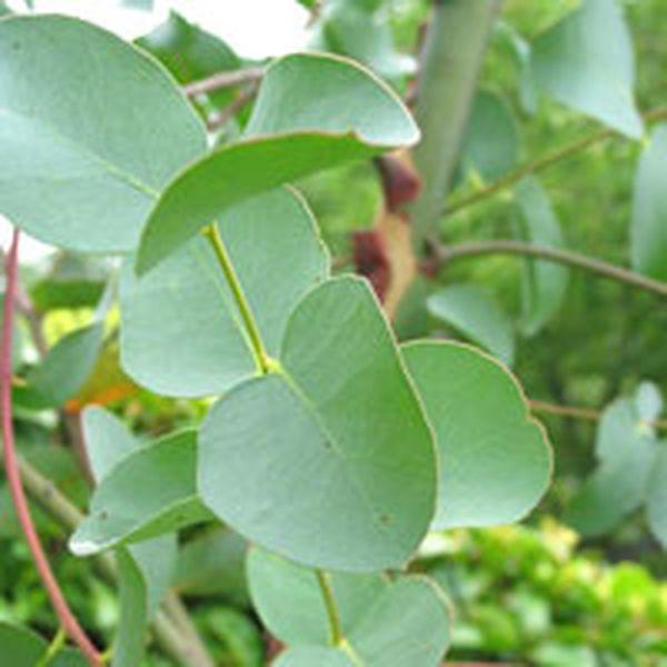 Eucalyptus globolus (p11)