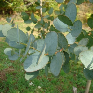 Eucalyptus gunnii 'Azura'