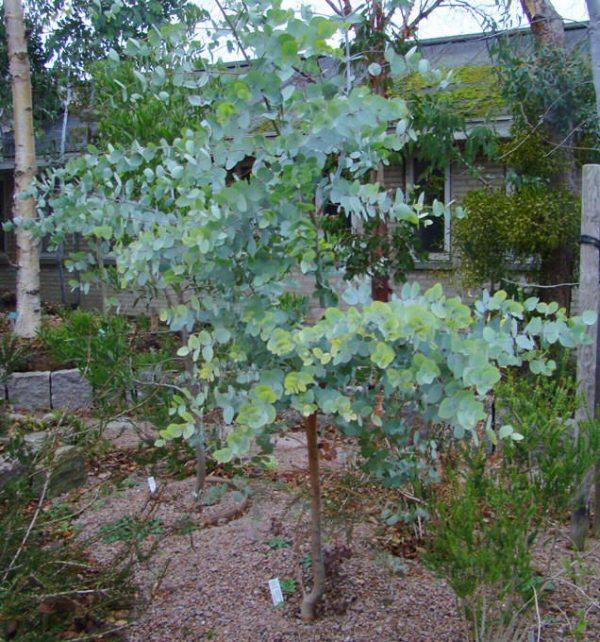 Eucalyptus rubida (p11)
