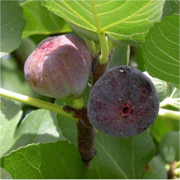 Ficus c. 'Violette Dauphiné'