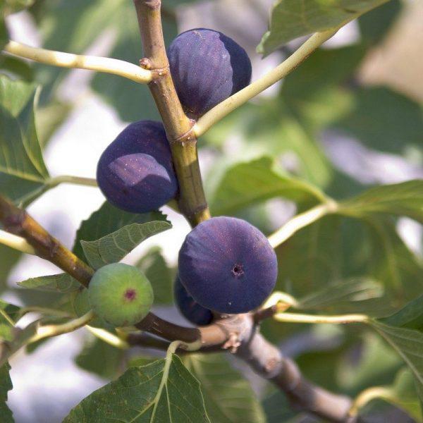 Ficus c. 'Violette Normande'