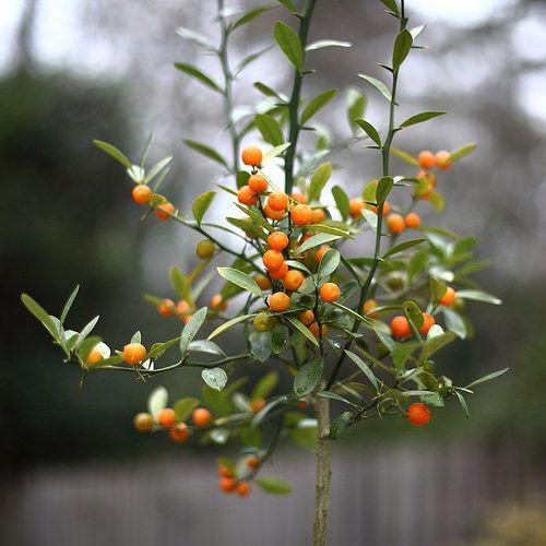Citrus japonica 'Hong Kong'