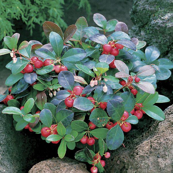 Gaultheria procumbens (P9)