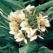 Hedychium 'Dr Moy'