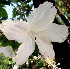 Hibiscus rosa-sinensis 'Albus'