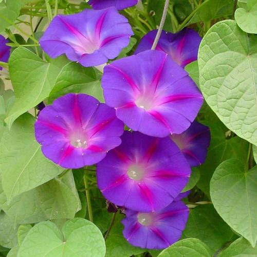 Ipomoea purpurea (zaden)
