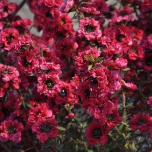 Leptospermum s. 'Red Damask'