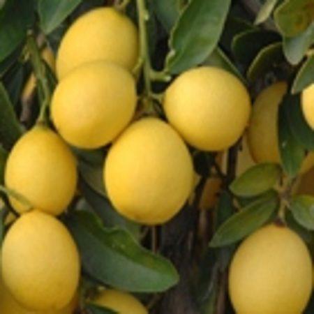 Citrus x floridana 'Lakeland'