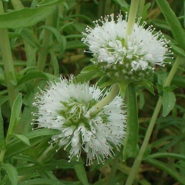 Mentha cervina 'Alba' (P9)