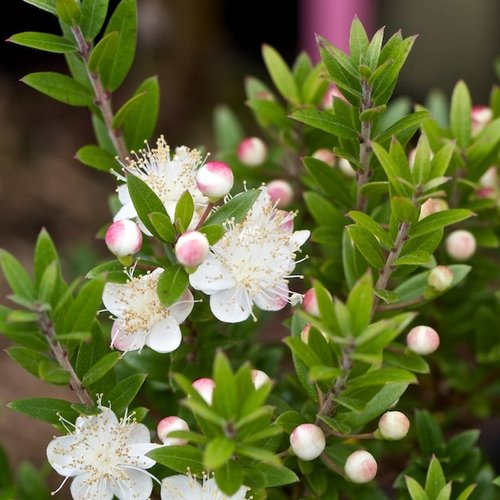 Myrtus communis var tarentina (P15)