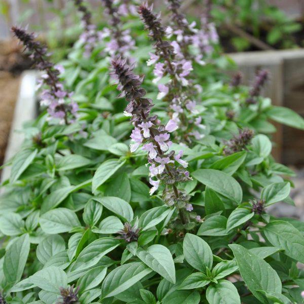 Ocimum 'Floral Spires Lavender'