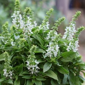 Ocimum 'Floral Spires White'