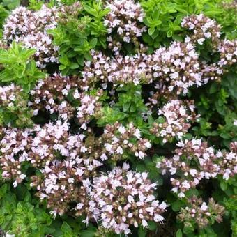 Origanum vulgare compactum (P9)