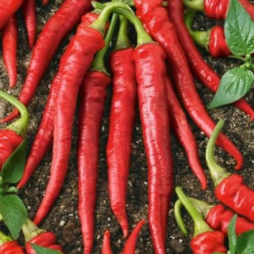 Peper 'Cayenne Long Slim' (zaden)