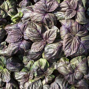 Perilla frutescens 'paars' (zaden)