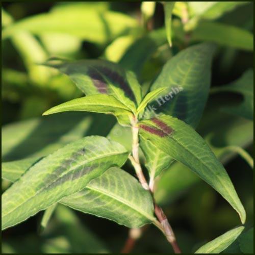 Persicaria odorata (P9)