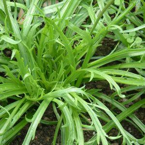 Plantago coronopus (P9)