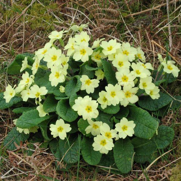Primula vulgaris (P9)