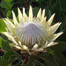 Protea cyn. 'White Crown' (P17)