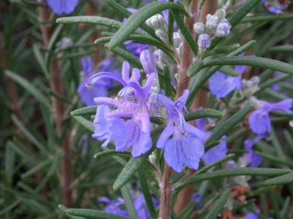 Rosmarinus off. 'Blaulippe' (P9)