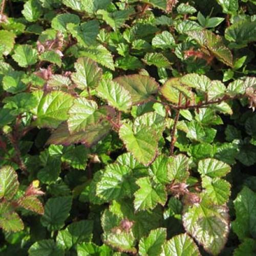 Rubus tricolor (P9)