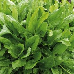 Rumex acetosa hortensis (p9)