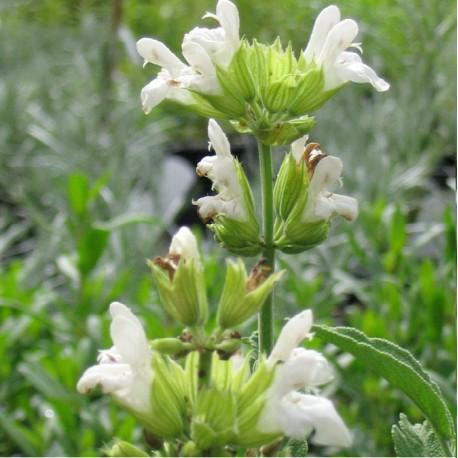 Salvia officinalis var albiflora (p9)