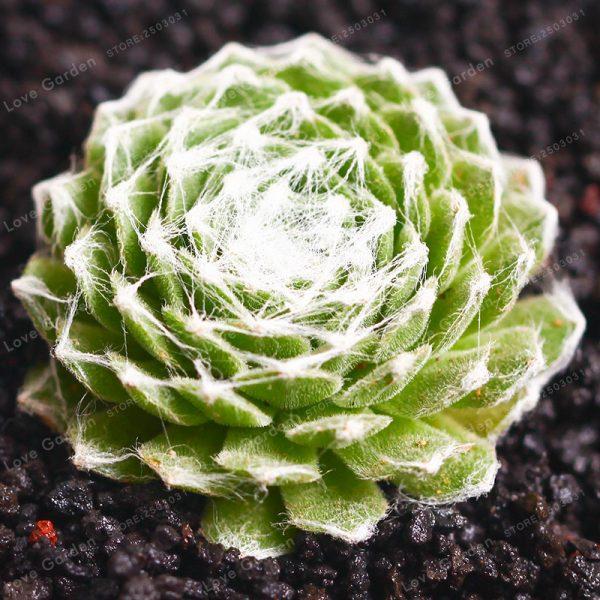 Sempervivum arachnoideum (p9)