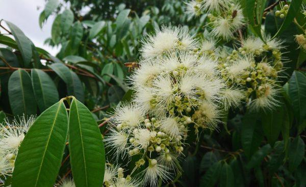 Syzygium polyanthum (P9)