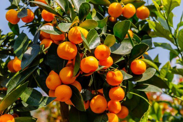Citrus x microcarpa (XL)