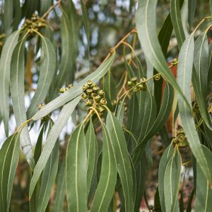 Eucalyptus dalrympleana (p11)