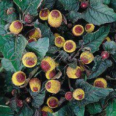 Spilanthes oleracea 'Purpurescens'