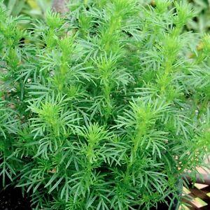Tagetes filifolia (P9)