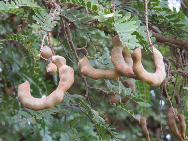 Tamarindus indica (P9