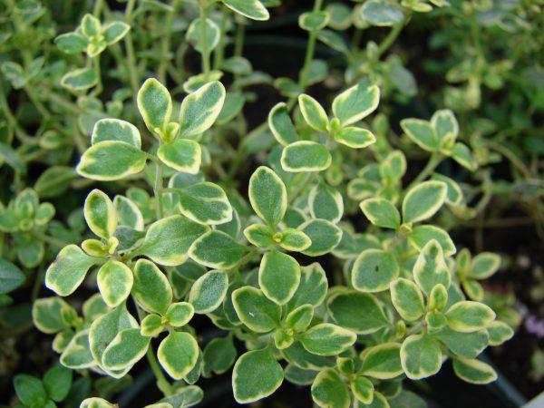 Thymus x citr. 'Golden Lemon'(P9)