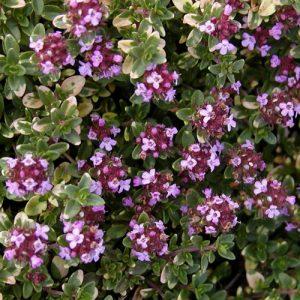 Thymus x citr. 'Doone Valley' (P9)