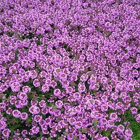 Thymus x citriodorus 'Lammefjord'