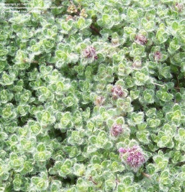 Thymus pseudolanuginosus (P9)