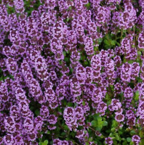 Thymus vulgaris 'Tabor'