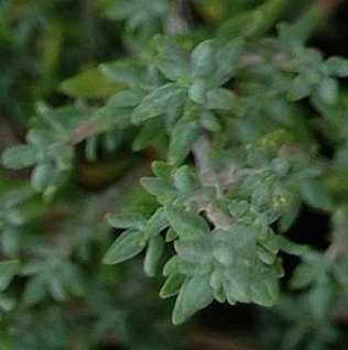 Thymus v. 'Fleur Provencale'(P9)