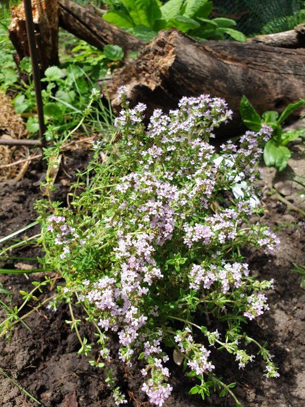Thymus vulgaris 'Precompa' (P9)