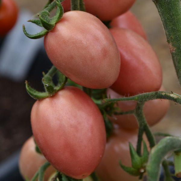 Tomaat Thai Pink (zaden)