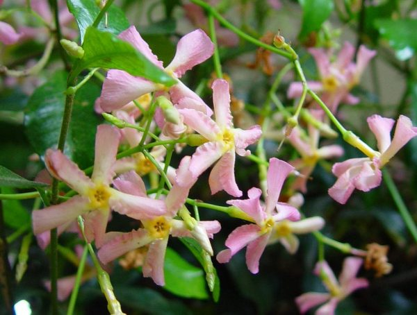 Trachelospermum 'Star of Sicily'