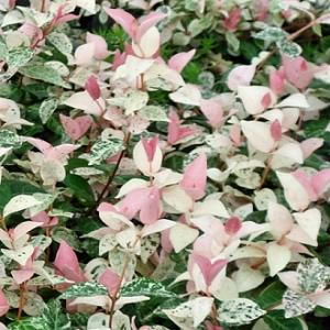 Trachelospermum 'Tricolor' (p9)