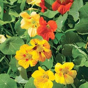 Tropeaeolum 'Glorious Gleam' (zaden)