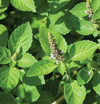 Ocimum tenuiflorum (O. sanctum)