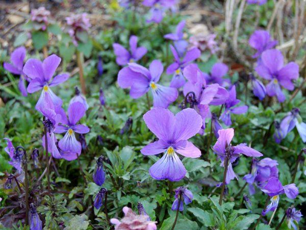 Viola corsica (P9)