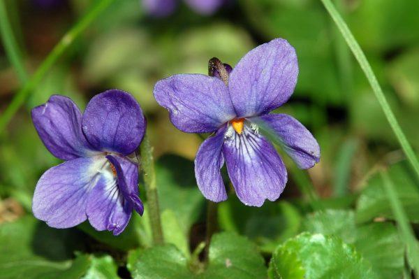 Viola odorata (P9)